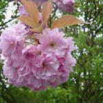 Japanische Kirsche für die Baumbestattung im Garten.