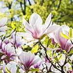 Magnolie für die Baumbestattung im Garten.