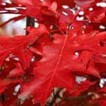 Roteiche für die Baumbestattung im Garten.